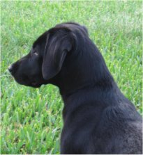 LincolnTheBlackLabradorRetrieverLookingPensiveInTheTallGreenGrass.jpg